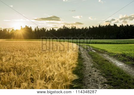 Beautiful Landscape Image Of Golden Wheat Filed And Green Ripening Corn Field Divided By Country Roa