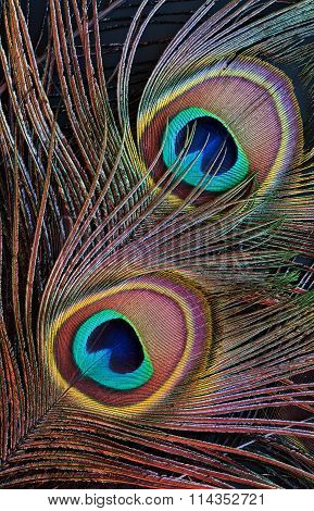Peacock Feather (detail Of Eyespot)