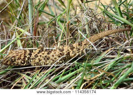 Caspian bent-toed gecko (Tenuidactylus caspius)