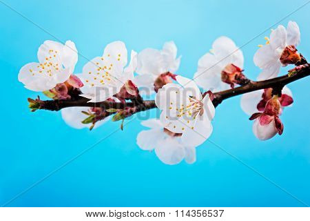 apricot spring flowers