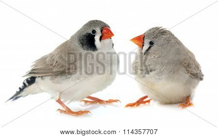 Couple Zebra Finch