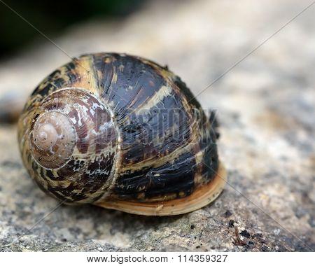Garden snail (Cornu aspersum)