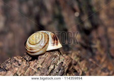White-lipped snail (Cepaea hortensis)