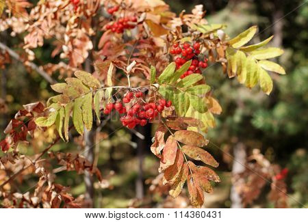 Branch With Bunches Of Red Rowan