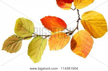 branch of fothergilla botle brush leaves isolated on white background