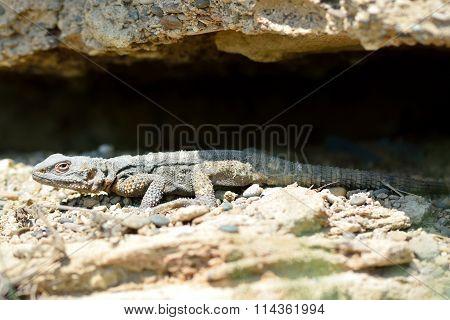 Caucasian agama (Paralaudakia caucasia) basking by cave