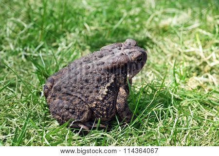 Close up of alive toad on green grass