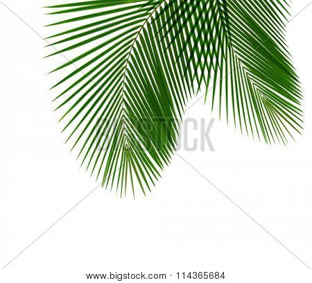 Single coconut leaf isolated on white background