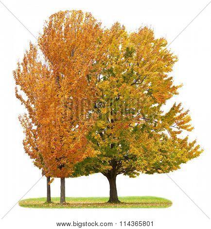 Three maple trees isolated on white background