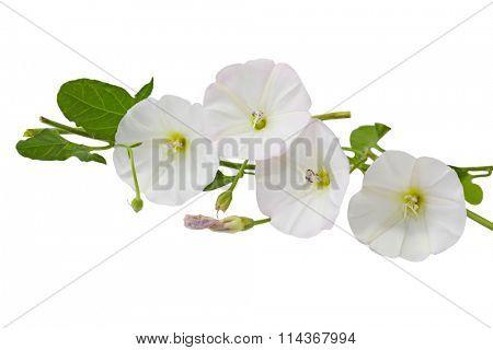 Hedge Bindweed Calystegia sepium (Convolvulus sepium) flower in white and pink color