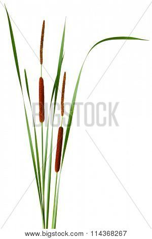 Narrow-leaved Cattail Typha angustifolia with male and female flowers