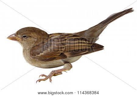 Single American tree Sparrow bird isolated on white