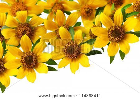Set of Bidens cernua for natural background