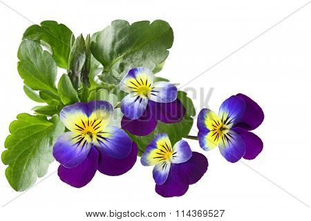Closeup of fresh pansy flowers isolated on white