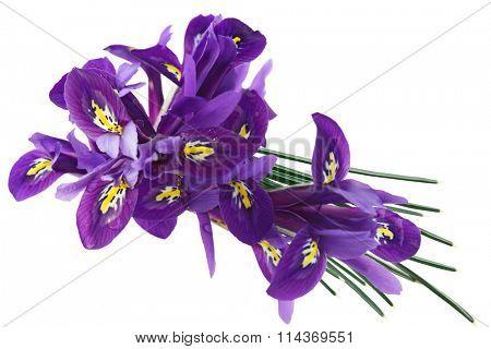 Purple Dwarf iris (Iris reticulata) flowers and Leaves