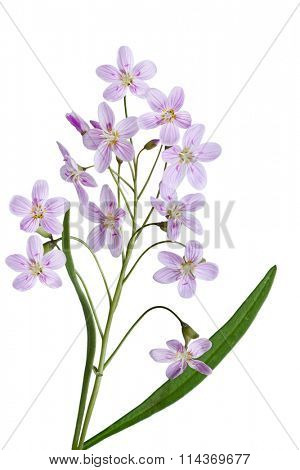Cuckoo Flower Lady's-smock Cardamine pratensis wildflower isolated on white