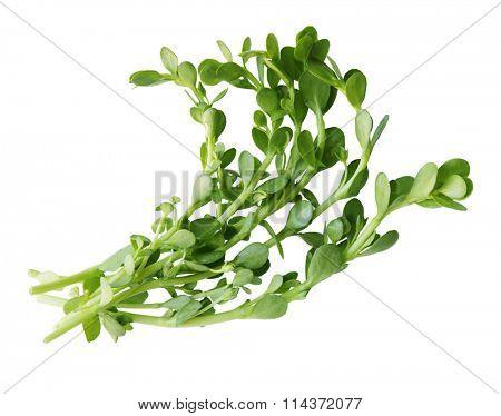 Bundle of Bacopa  Bitter Herbs monnier,  Bitter Leaf, Waterhyssop, Brahmi, Thyme-leafed gratiola, Water hyssop,