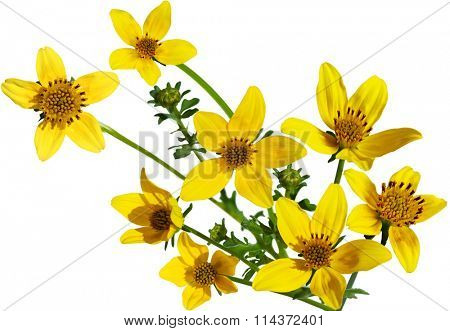 Goldfield wild flower isolated on white background