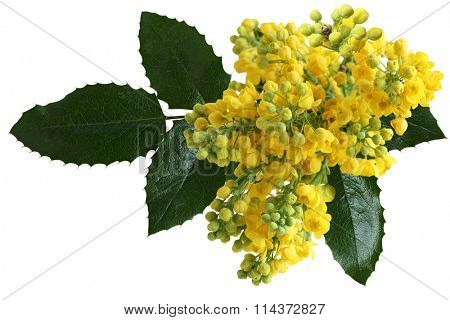 Mahonia aquifolium Oregon-grape wild flower holly leaves, evergreen in spring time