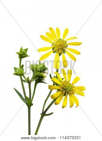 Yellow Jerusalem artichoke Topinambu wild flower isolated on white