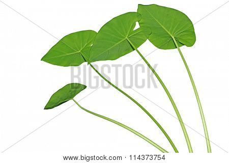 Elephant Ears  Taro (colocasia esculenta) leaves isolated on white background