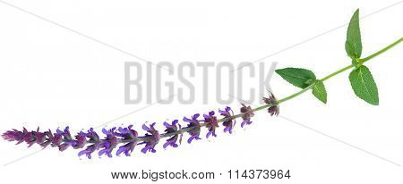 Single perennial Salvia Meadow Sage flower isolated on white background