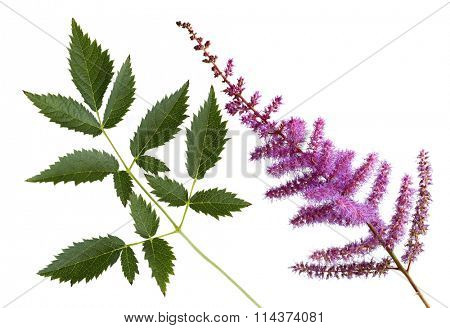 Pink False Spirea astilbe arendsil amethyst flower and leaves
