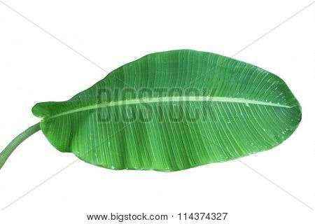 Single fresh banana leaf with stem isolated on white background