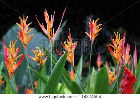 Heliconia Psittacorum flower Plant in Florida Summer time