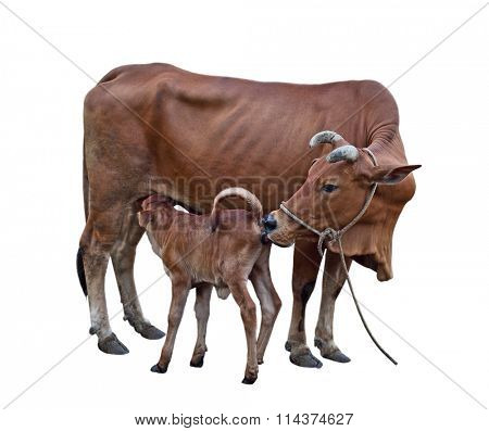 Cow-calf, calf sucking mother cattle isolated on white background