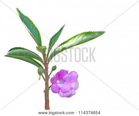 Impatiens balsamina (garden balsam, garden jewelweed, rose balsam, touch-me-not) flower