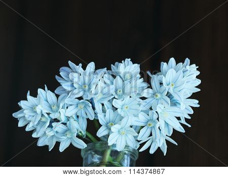 Puschkinia blue striped squills flower in spring time