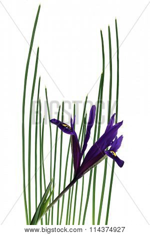 Dwarf Iris flower and leaves isolated on white background