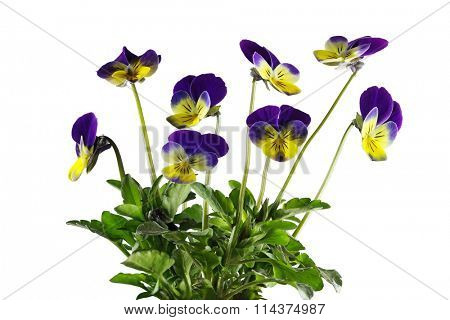 Yellow and Purple pansy flower plants isolated on white background