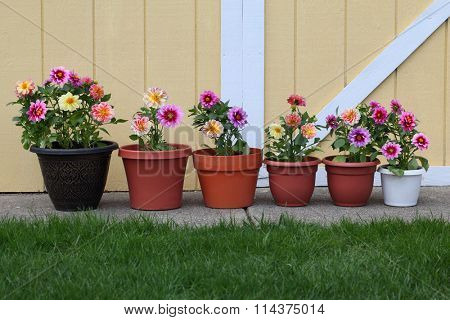 Dahlia flower planter row for natural background