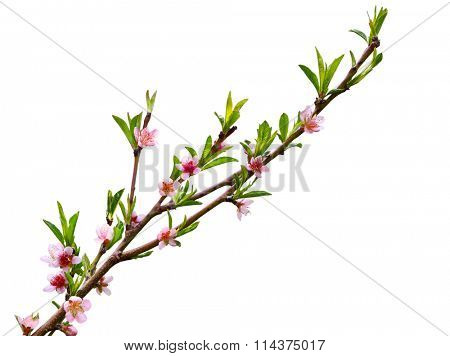 Spring peach blossom flower isolated on white background