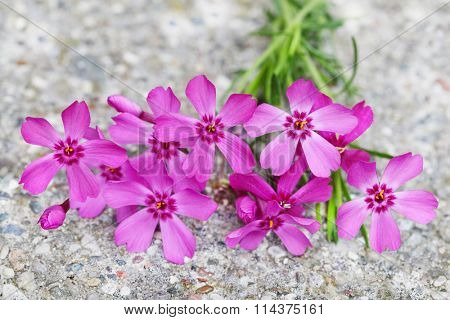 Phlox subulata 'Scarlet Flame' creeping groundcover flower plant on concrete