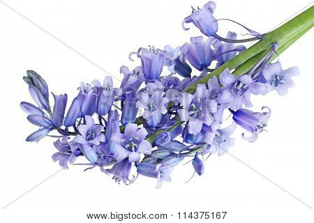 Bundle of Hyacinthoides non-scripta Bluebell flowers isolated on white background