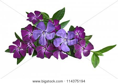 Vinca periwinkle flowers and leaf covered with pollen isolated on white background