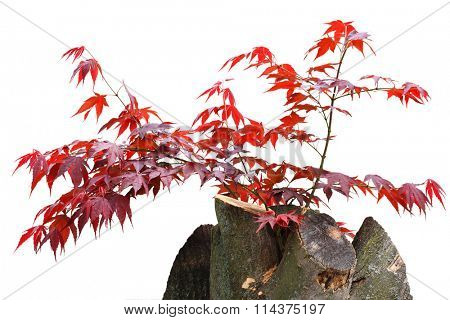 Young red maple leaves on branch growing back from old tree stump