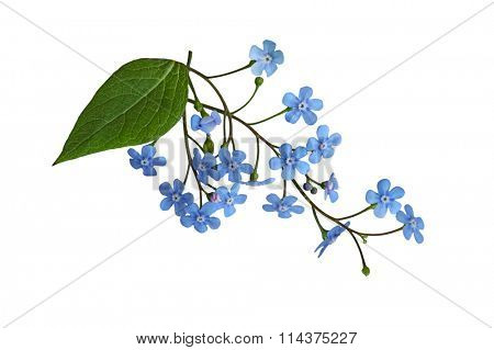 Fresh Forget Me Not flower isolated on white background