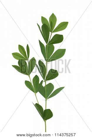 Baptisia australis Wild Indigo leaf isolated on white background