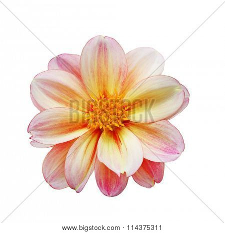 Single dahlia flower head isolated on white background