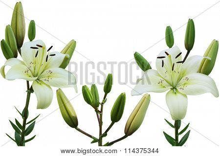 White lily flower in the garden isolated over background