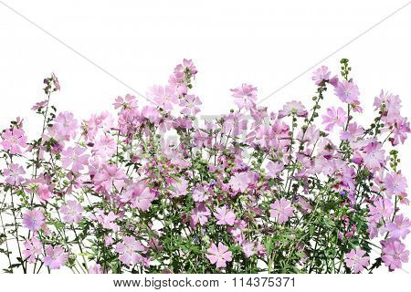 Musk Mallow Malva moschata flower on the field isolated over white background