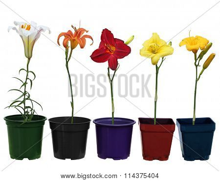Row of lily daylily flower plant pots in different shapes and colors