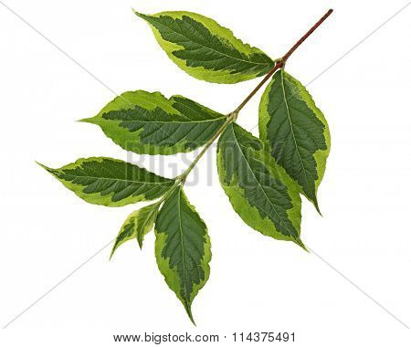 Weigela leaf Ovate oblong with accuminate tip and serrated margin