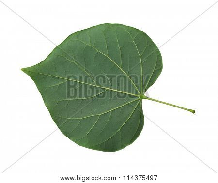 Single fresh redbud leaf  cordate isolated on white background