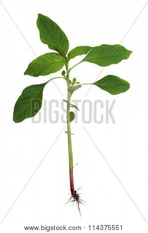 Redroot pigweed Amaranth Plant isolated on white background
