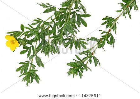 Monrovia Potentilla Leaf isolated on white background